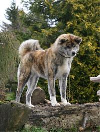 Akita gestromt - Jagdverhalten