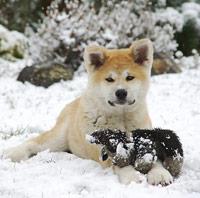 Akita - Verwandtschaft zu den nordischen Hunderassen