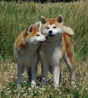 Zwei Akitas