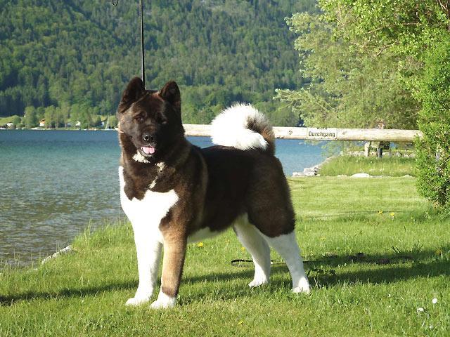 Sind Sie Ein Geeigneter Akita Hunde Besitzer Akita Club E V Verein Fur Akita American Akita