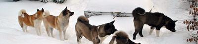 Galerie: American Akita im Winter