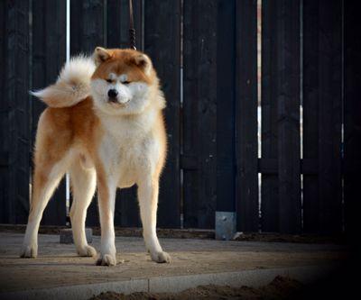 Deckrüde / Akita / Rantarou Go Shun'You Kensha