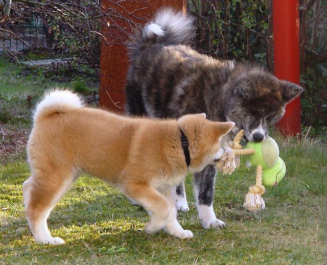Die Erziehung Des Welpen Spaziergange Artgenossen Akita Club E V Verein Fur Akita American Akita