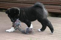American Akita Welpe - mit Spielzeug