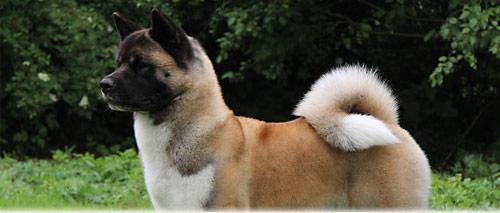 Die Zuchtordnung Des Akita Club E V Akita Club E V Verein Fur